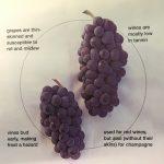 Đặc tính nho Pinot Noir