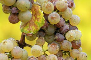 Riesling chín trên cây do nấm Botrytis